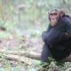 Mweya the chimp